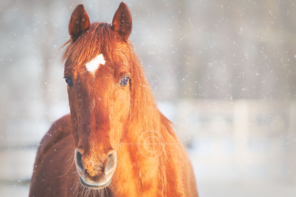 Winter-Whispers-by-Michigan-Equine-Photographer-Laura-Adams